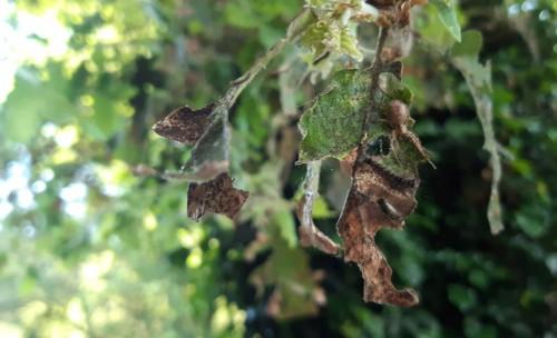 Erugues defoliant les fulles